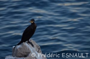 Le Grand Cormoran (Phalacrocorax carbo)