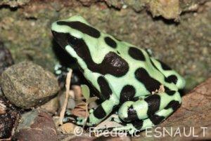 Dendrobate (Dendrobates auratus)