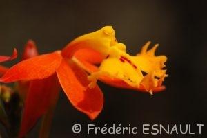 Orchidée Epidendrum (Epidendrum radicans)