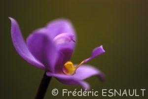 Orchidée (Spathoglottis plicata)