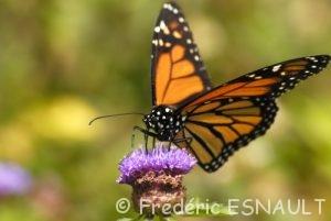 Papillon Monarque (Danaus plexippus)
