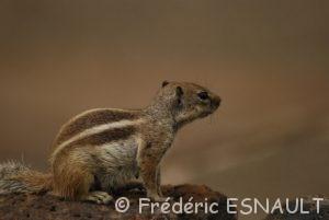 L'écureuil de Barbarie (Atlantoxerus getulus)
