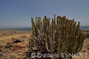 Euphorbe des Canaries (Euphorbia canariensis)