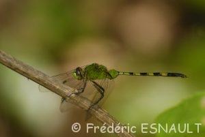 Erythémis vert (Erythemis vesiculosa)