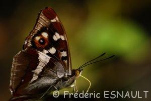 Le Grand Mars changeant (Apatura iris)