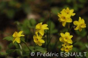Le Narcisse d'Asso (Narcissus assoanus)