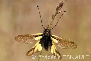 L'Ascalaphe soufré (Libelloides coccajus)